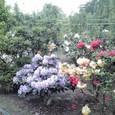 2011_0513_石楠花1