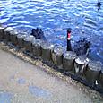千波湖の鳥たち