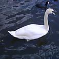 千波湖の白鳥